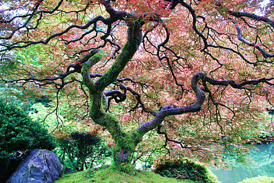 Japanese Tree In Garden Poster