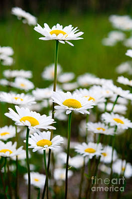 Jasper - Oxeye Daisy Wildflower 2 Poster