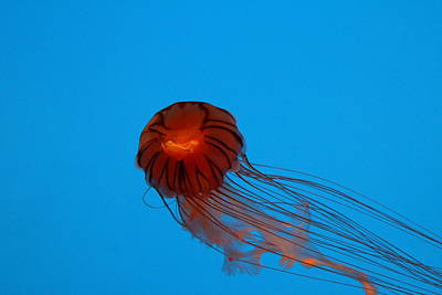 Jellyfish - National Aquarium In Baltimore Md - 121230 Poster