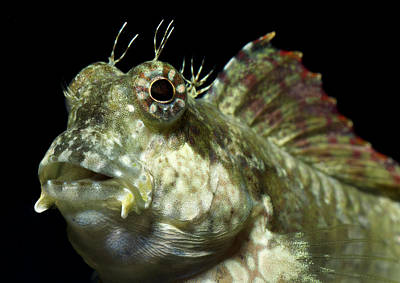 Jewelled Or Lawnmower Blenny Poster by Nigel Downer