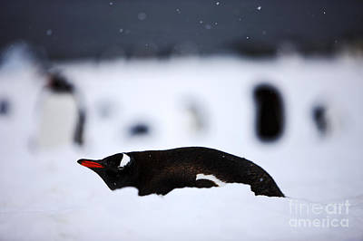 Joe Fox Fine Art - Gentoo Penguin Pygoscelis Papua Lying In The Snow Cuverville Island Antarctica Poster by Joe Fox
