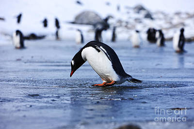Joe Fox Fine Art - Gentoo Penguin Pygoscelis Papua Pecking At Fresh Water Ice At Neko Harbour Antarctica Poster