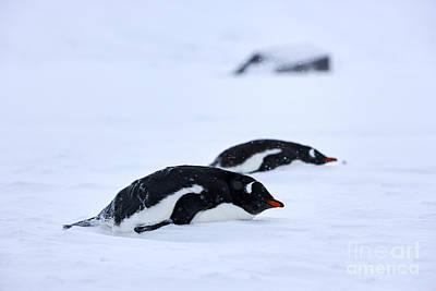 Joe Fox Fine Art - Gentoo Penguins Pygoscelis Papua Lying Down In A Blizzard At Whaler's Bay Antarctica Poster by Joe Fox