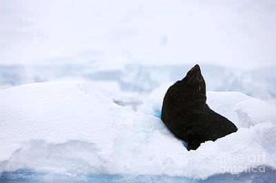Joe Fox Fine Art - Juvenile Antarctic Fur Seal Arctocephalus Gazella Looking Up Stretching Exaggerating Size Poster