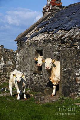 Joe Fox Fine Art - Three Charolais Beef Cattle Looking Out Of An Old Abandoned Irish Cottage In County Sligo Republic Of Ireland Poster by Joe Fox