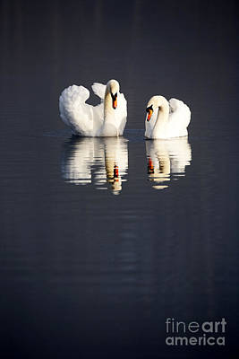 Joe Fox Fine Art - Two Swans Swimming On A Lake In Early Morning Ireland Poster