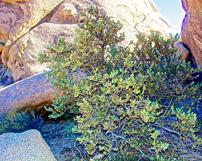 Jojoba On Arch Rock Trail In Joshua Tree National Park-california Poster by Ruth Hager