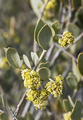 Jojoba (simmondsia Chinensis) Flowers Poster by Science Photo Library