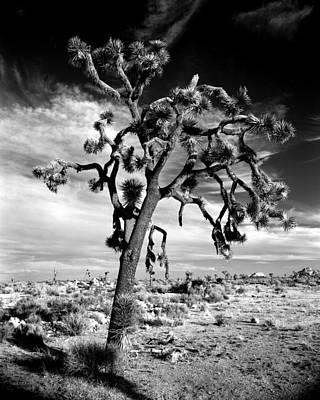 Joshua Tree At Sunset Poster by Alex Snay