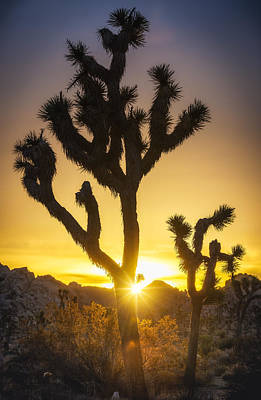 Joshua Tree Glorious Sunrise Poster by Michael Filippoff