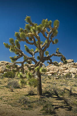 Joshua Tree In Joshua Tree National Park No. 336 Poster by Randall Nyhof