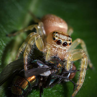 Jumping Spider 3 Poster by Brad Grove