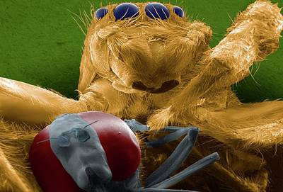 Jumping Spider Catching Prey Poster