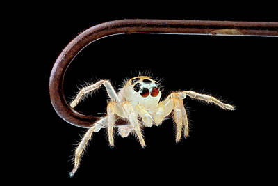 Jumping Spider On A Fish Hook Poster