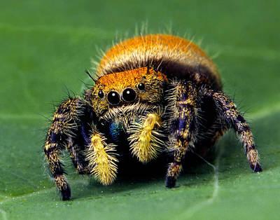 Jumping Spider Phiddipus Apacheanus Poster by Robert Jensen