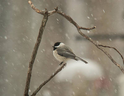 Junco Facing The Elements Poster by Douglas Barnett