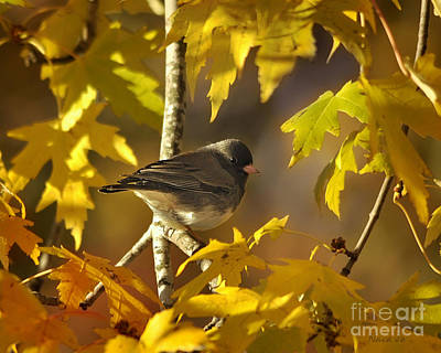 Junco In Morning Light Poster