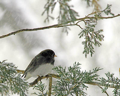 Poster featuring the photograph Junco In Snowstorm by Paula Guttilla