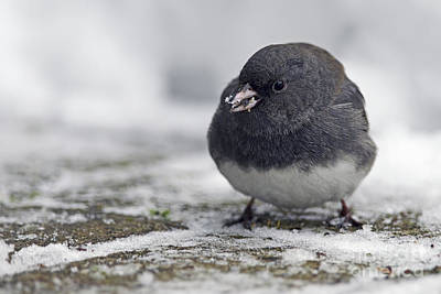 Junco In The Snow With Seeds Poster by Sharon Talson