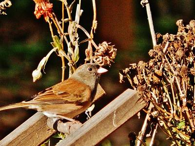 Poster featuring the photograph Junco Jaunt 2 by VLee Watson