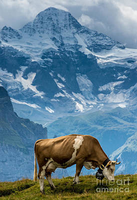 Jungfrau Cow - Grindelwald - Switzerland Poster by Gary Whitton