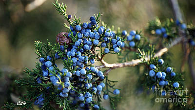Juniper Berries Poster