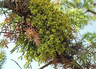 Juniper Dwarf Mistletoe On Juniper Tree Poster
