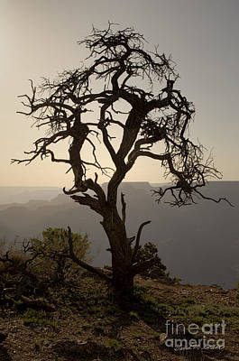 Juniper Tree At Grand Canyon Poster by David Gordon