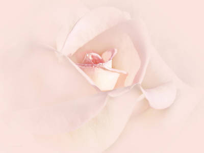 Just A Whisper Pink Rose Flower Poster by Jennie Marie Schell