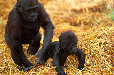 Juvenile And Baby Lowland Gorillas Poster by Art Wolfe