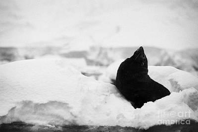 juvenile antarctic fur seal Arctocephalus gazella looking up stretching exaggerating size  floating  Poster