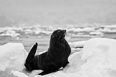 juvenile antarctic fur seal Arctocephalus gazella sirtting up floating on iceberg in Fournier Bay An Poster