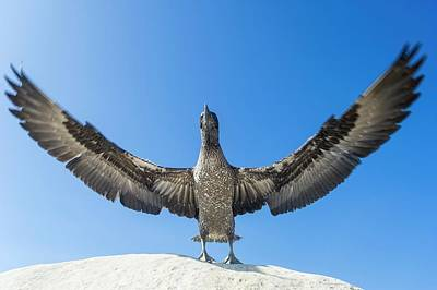 Juvenile Cape Gannet Flapping Its Wings Poster by Peter Chadwick