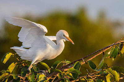 Juvenile Cattle Egret Poster by Andres Leon