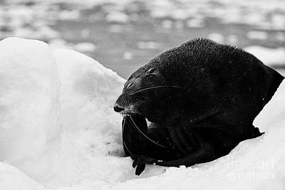 Juvenile Fur Seal Scratching Head With Flipper Feigning Boredome Defensive Behaviour Floating On Ice Poster