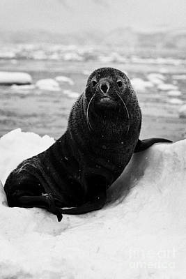 juvenile fur seal sirtting up looking to camera  floating on iceberg in Fournier Bay Antarctica Poster