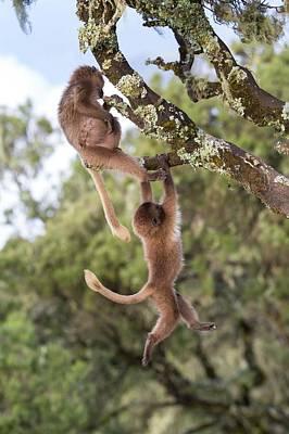 Juvenile Gelada Baboons At Play Poster