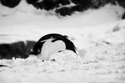 juvenile gentoo penguin Pygoscelis papua rolling picking up ball of snow at Neko Harbour arctowski p Poster