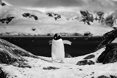 juvenile gentoo penguin with wings outstretched walking at Neko Harbour arctowski peninsula Antarcti Poster