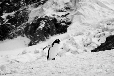 juvenile gentoo penguin with wings outstretched walking uphill Neko Harbour Antarctic mainland Antar Poster