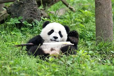 Juvenile Giant Panda Eating Bamboo Poster by Tony Camacho