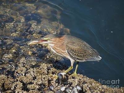 Poster featuring the photograph Juvenile Green Heron by Gayle Swigart
