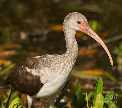 Juvenile Ibis In The Mangroves 2 Poster