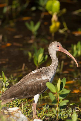 Juvenile Ibis In The Mangroves Poster