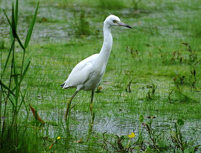 Juvenile Little Blue Heron In Search Of Food Poster