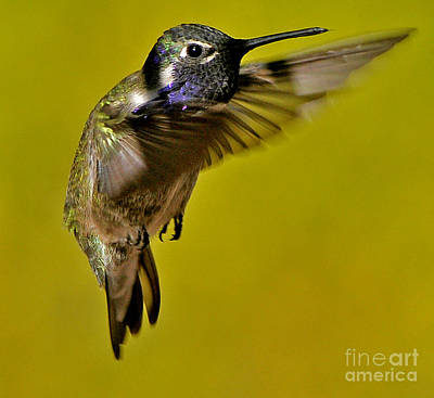 Poster featuring the photograph Juvenile Male Allen Hummingbird In Flight Ready To Land by Jay Milo