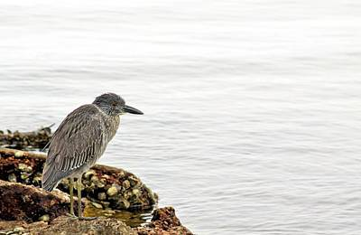 Juvenile Night Heron  Poster by JC Findley