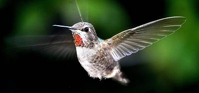 Juvenile Red Thoated Hummingbird Poster by Jay Milo