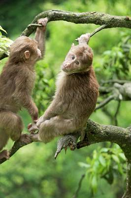 Juvenile Tibetan Macaques In A Tree Poster