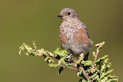 Juvenile Western Bluebird Poster